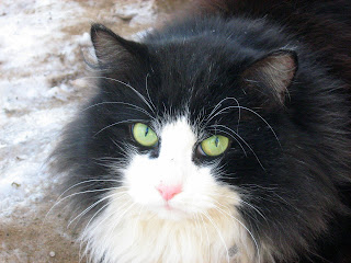 Black and White Fluffy Old Cat