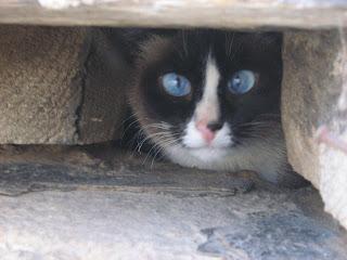 Shy Sky-Blue-Eyed Siamese Cat