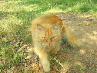 Affectionate Ginger Old Cat