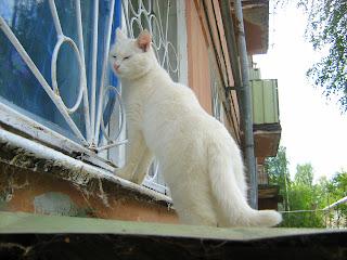 Cute Domestic White Cat