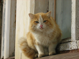 Azure-Eyed Ginger-White Cat