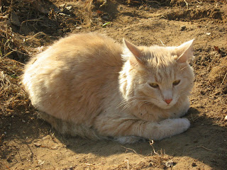 Sunny Orange-Eyed Peach Cat