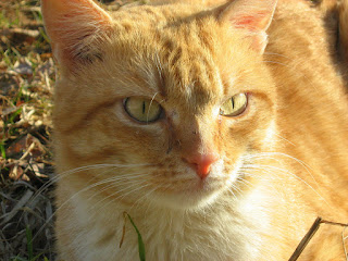Fire-Red Yellow-Eyed Cat
