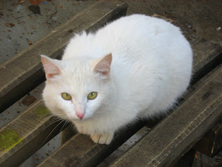 "Young White Cat ""Snowball"": Part One"