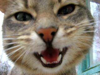Differ-Eyed Blue Mackerel Tabby Kitty