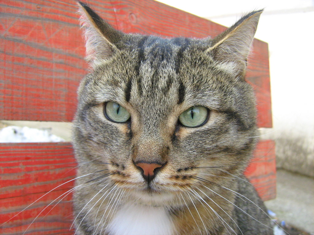 White Collar Tabby Cat: Part One — Russian Cats Pictures Tabby Cat