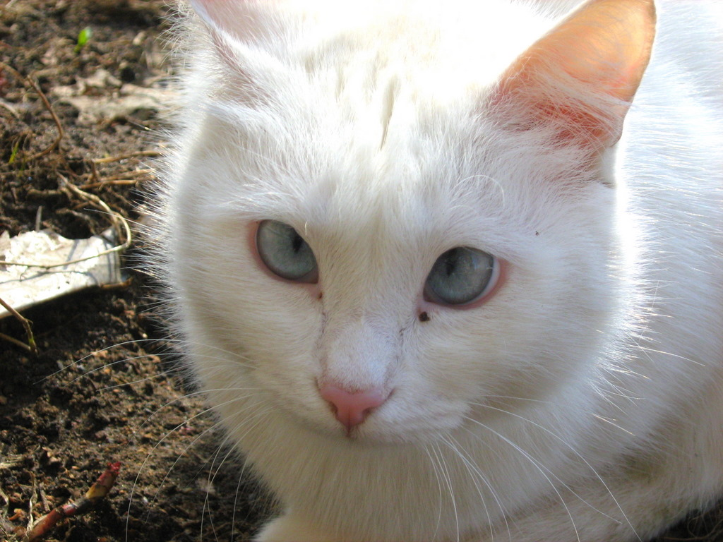 Cross Eyed White Kitty — Russian Cats