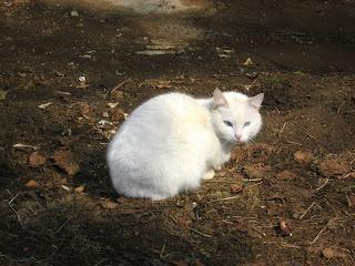 Cross-Eyed White Kitty