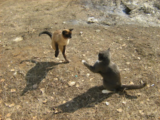 Blue-White Cat vs. Siamese Twin-Cat: Round One