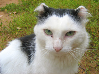 Earless Black and White Cat