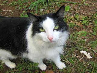 Black and White Huckster-Cat