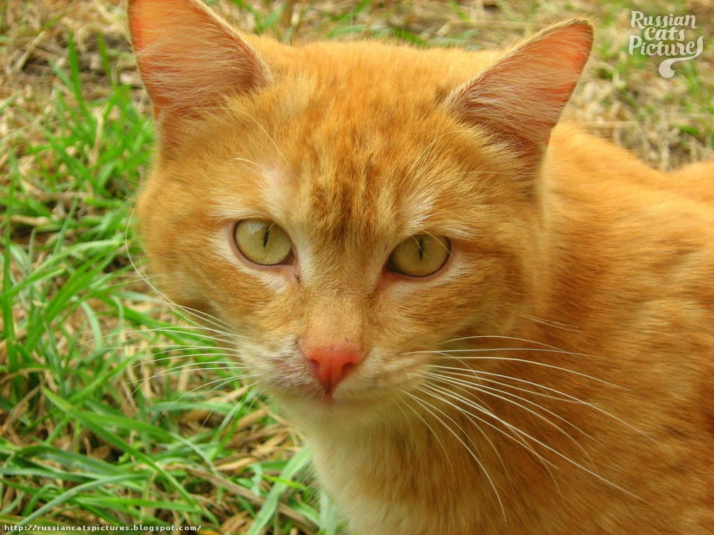 yellow tabby cat male