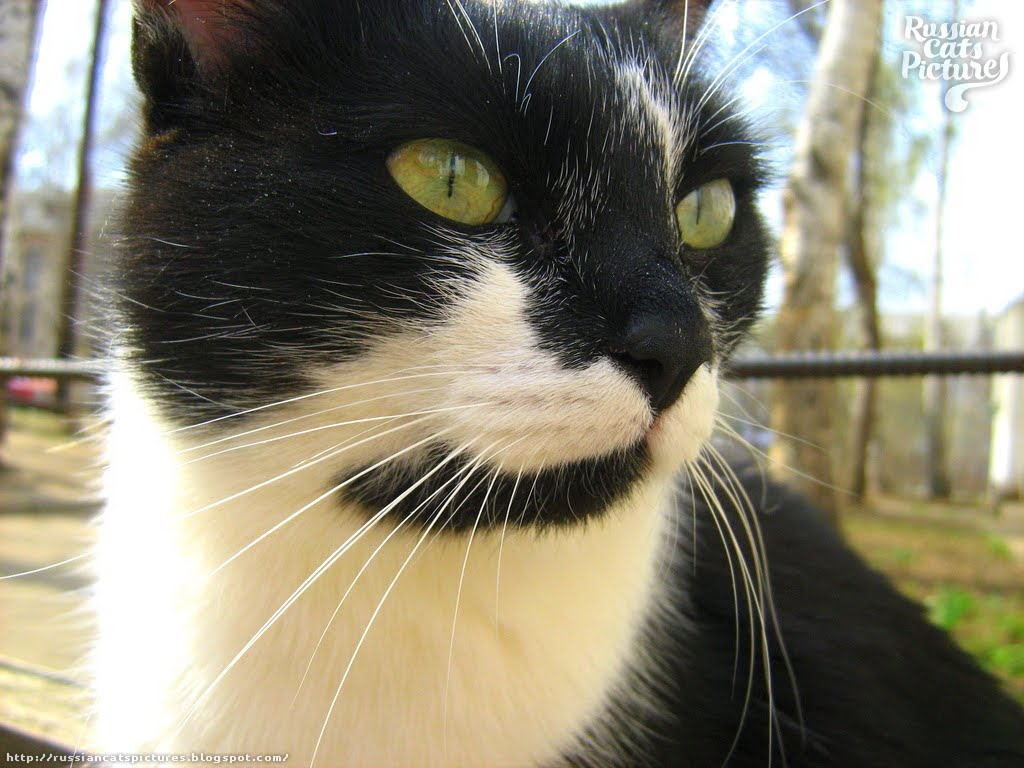 Lime Eyed Black with White Happy Cat — Russian Cats