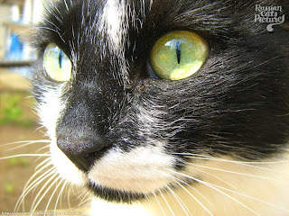 Lime-Eyed Black with White Happy Cat