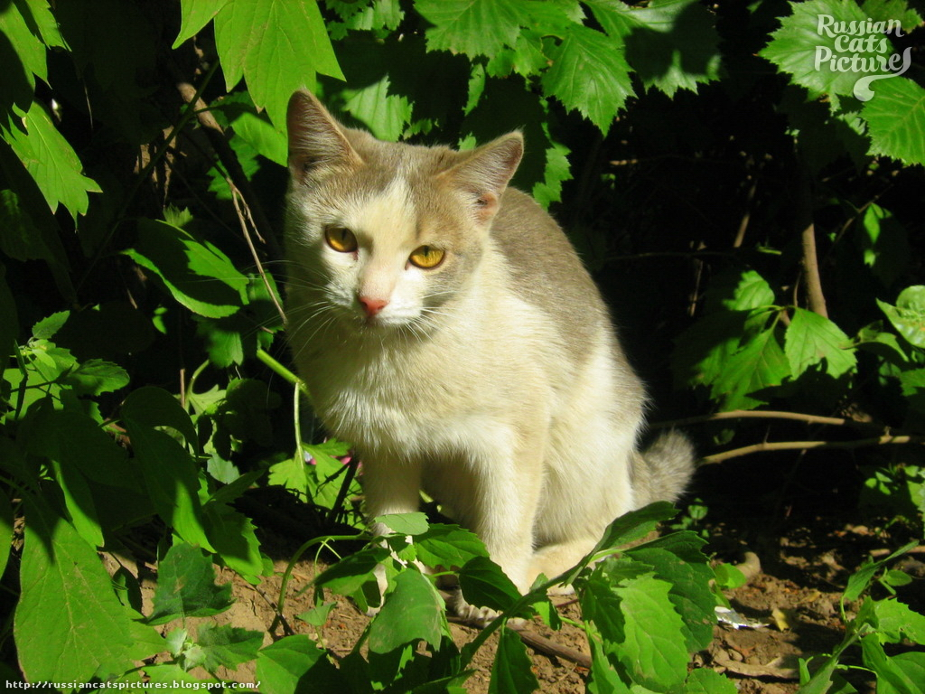Yellow-Eyed Blue Mackerel Tabby with White Shrubby Kitty