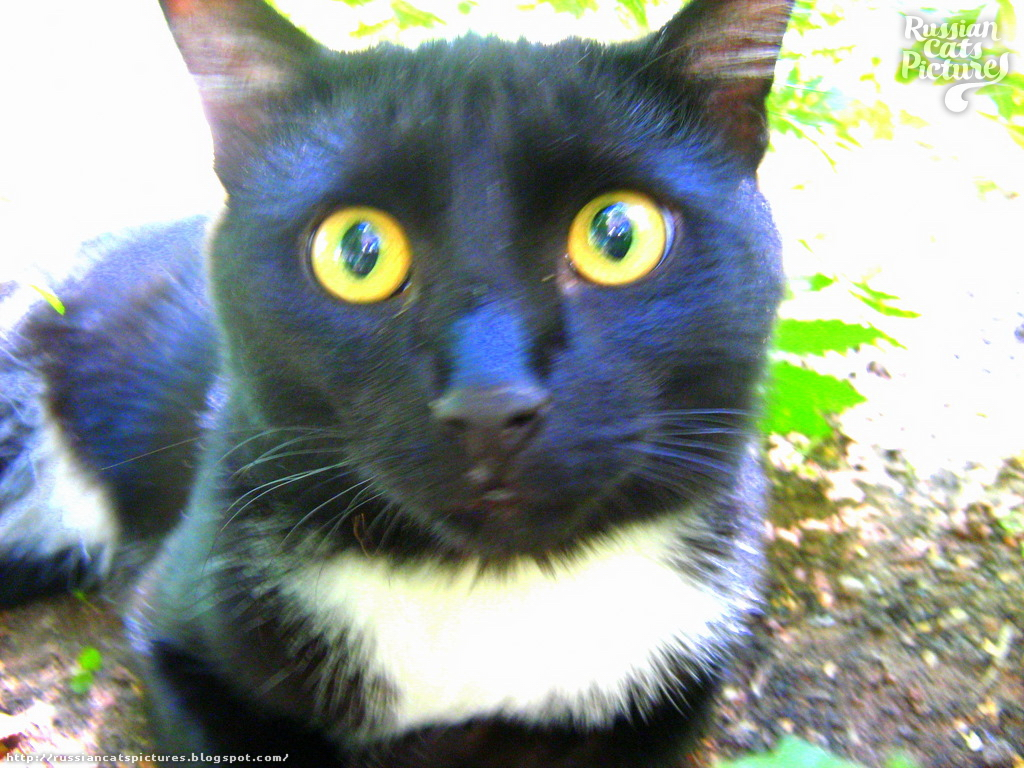 Yellow-Eyed Black with White Surprised Cat