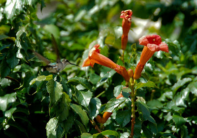 Trumpet Creeper Campsis Radicans Is A Great Native Vine With Beautiful Tubular Orange Flowers But Often Disparaged Because Of Its Strong Vining Habit
