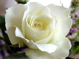 K 33 - Rosa Branca