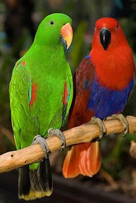 Pet Stores Guide: Eclectus Parrot