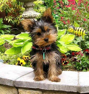 yorkshire-terrier-0127.jpg