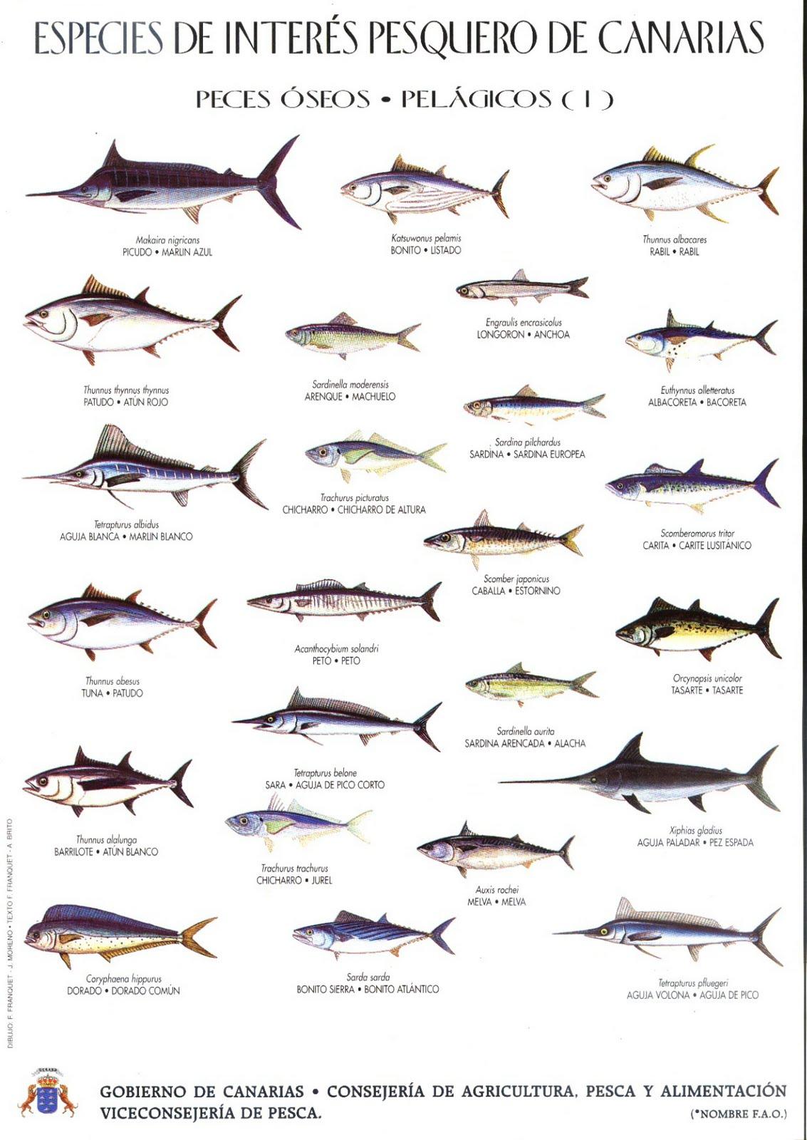 Peces de inter s pesquero en las islas canarias por www for List of fish to eat