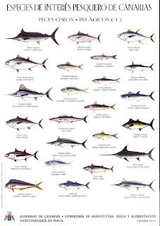 Dias de pesca peces de las islas canarias gobierno for Especies de peces