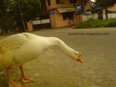 white domestic goose photographed from cochin kerala,geese facts and photos,white goose kerala,kerala-pet-birds