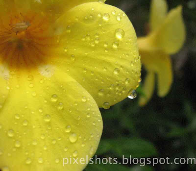 yellow-bell-flowers-in rain,rain-drops-on-yellow-petals-of-allamanda-flowers,kerala-flowers