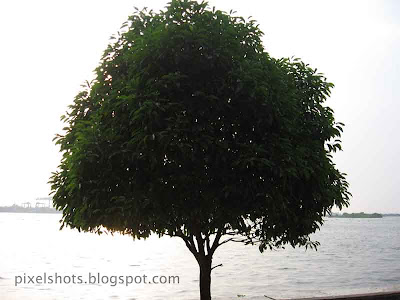 tree,ernakulam-subash-park-trees,lonely-tree-beside-sea,cochin-photos