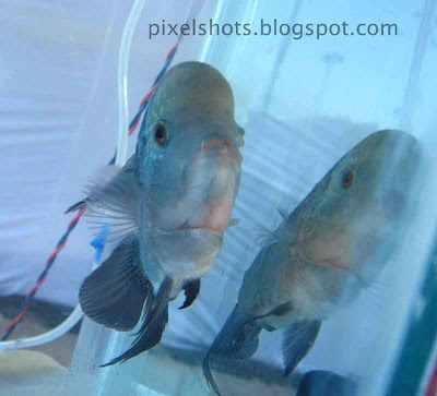 lion head cichlid photos from an aquarium show in cochin-kerala,lump-head-cichlids,african-fishes,topical-aquarium-fish,peaceful-aquarium-fishes,big-aquarium-pet-fish,block-head-cichlids,violet-aquarium-fishes,kerala-aquarium-fish-show