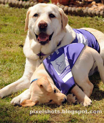 endal and ej,yellow labradors,mighty-labradors,world-most-intelligent-dogs,dog of millennium,ej playing with endal,trained dogs,Trained Labradors of canine partners
