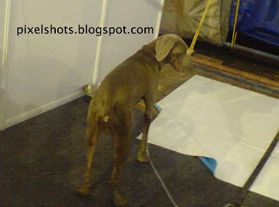 weimaranner,kerala dog show photos,docked tail dog,grey short tailed dog,weimaranner caring facta and photos,german dogs,hunting dog,family pet dog,dog training