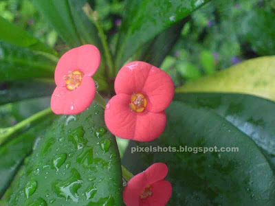 small-pink euphorbia milli flowers,euphorbia milli hybrids,euphorbia flowers,fresh tiny garden flowers soaked in morning mist,small pink flowers closeup from kerala gardens,spiky garden plants,tropical flowers,tropical garden plants