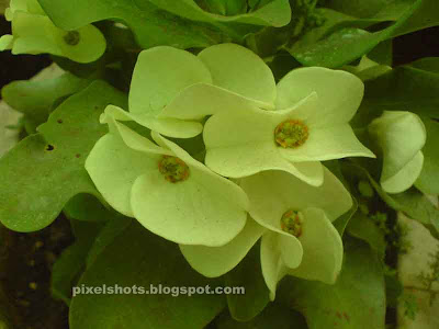 pista green milii flowers, euphorbia millii plant hybrid names, Beautiful flower