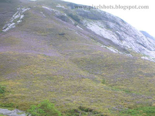 violet flowers of neelakurinjis spread over mountain slope to give the hill a violet colour