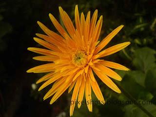 yellow flower,shrub like garden plant flower,similar to sunflower,seasonal garden plant flowers,garden plant without stems,tropical flowering plant
