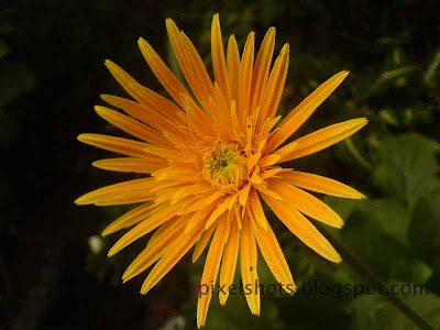 bright yellow flower from the home garden,closeup digital flower image taken with mobile phone camera,cute-yellow-flower,pixelshots flower-gallery,mobile-macro,flower-photography