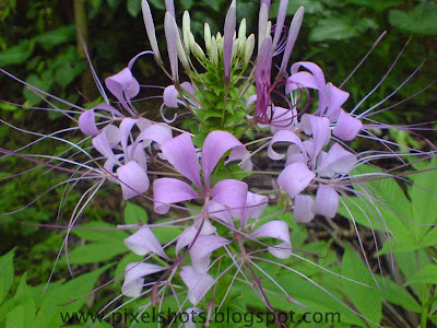 flowers in gardens,violet group of flowers closeup photo from home garden,kerala-common-garden-flowers