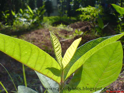 gauva-plant-budding-tender-leaves from home-garden,guava-leaves,sony-ericsson w810 photography,pixelshots-macro-photos,kerala-fruit-plants