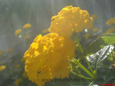 fresh flowers bouquets,common flowers of kerala,yellow-flowers,flowers-in-morning-sunlight,fresh-yellow-flowers,south-indian-flowers,lens-flare-flower-photos