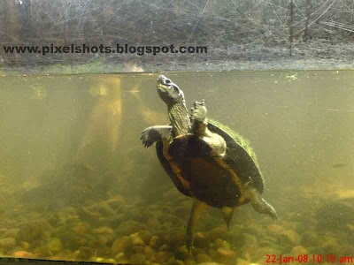 closeup photograph of turtle in aquarium fish tank from madras crocodile park in India, madras reptile park aquarium, green tortoise, ferns on tortoise body, crocodiles and tortoises