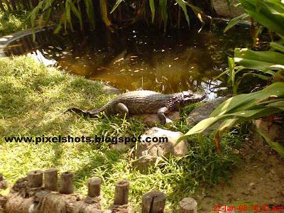 crocodile sitting on rock beside the pond in madras crocodile park, single crocodile, lizard crocodile, crocodile with balloon stomach, crocodile on rock, reptiles in indian zoos, indian crocodiles