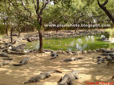 crocodiles around the pond in crocodile park in india, reptiles in zoo, crocodiles in indian zoos, crocodile breeding zoos in india, biggest crocodile bank, largest indian crocodile zoo, chennai reptile zoo,crocodile breeders,croc world