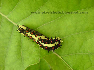 multicoloured cute butterfly larvae closeup photograph from a plant leaf in home garden,plant eater,vibrant colored garden insect,caterpillar macro,mobile phone macro photos