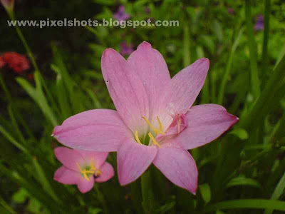violet fresh flowers of a lilly plant closeup photograph taken from gardens