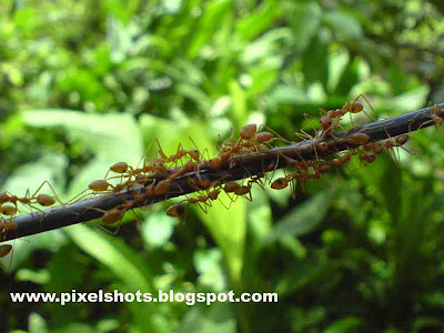 closeup digital photograph of ants moving through a garden plant branch