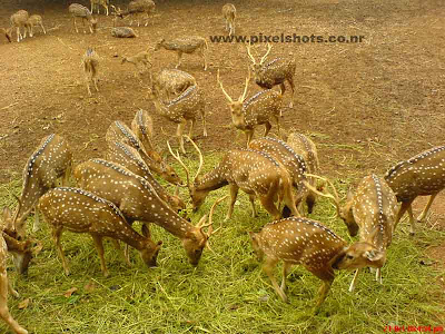 spotted deer groups feeding on plant leaves photograph from the hill palace of cochin deer park