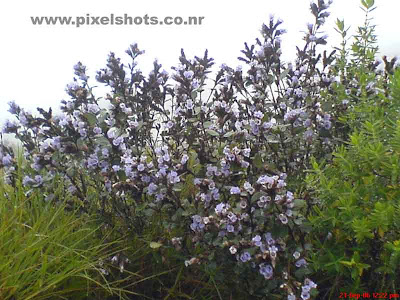 violet flowers of neelakurinji with plants closeup photograph from keral tourist destination munnar hill station