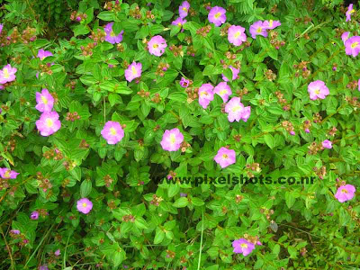 violet flowers from munnar photograph taken with nikon coolpix digital camera