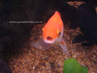 gold fish,aquarium fish gallery,pixelshots photo galleries